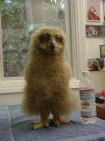 Eagle owl chick 5 weeks old