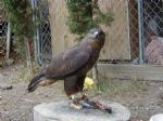 European Buzzard - dark factor named Godiva