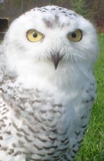 Cyrus - Educational Snowy Owl